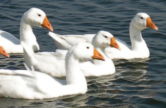 НаМоскве-реке зимуют домашние гуси