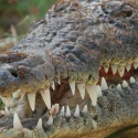 Крокодил в«Парусах»