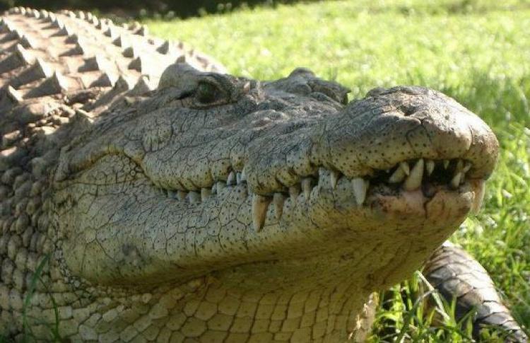 Крокодил Крококоша прилетел вШереметьево контрабандой