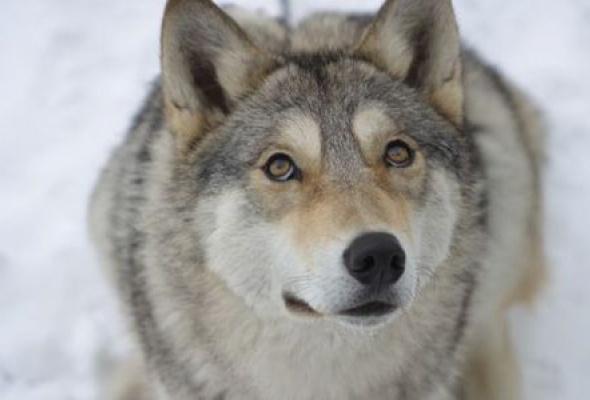 Весьегонская волчица - Фото №3