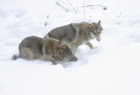 Весьегонская волчица - Фото №2