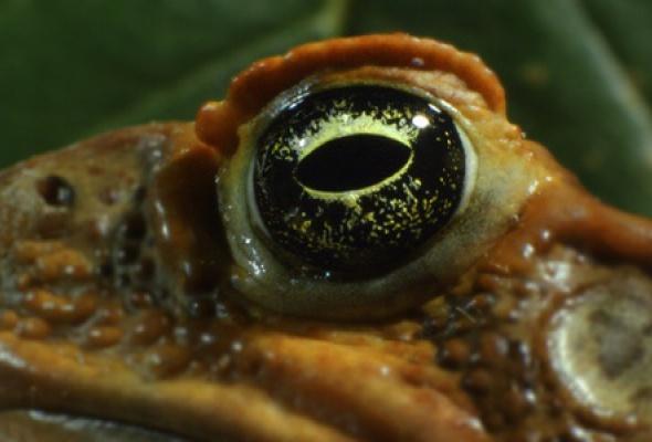 Тростниковые жабы: Оккупация 3D - Фото №2