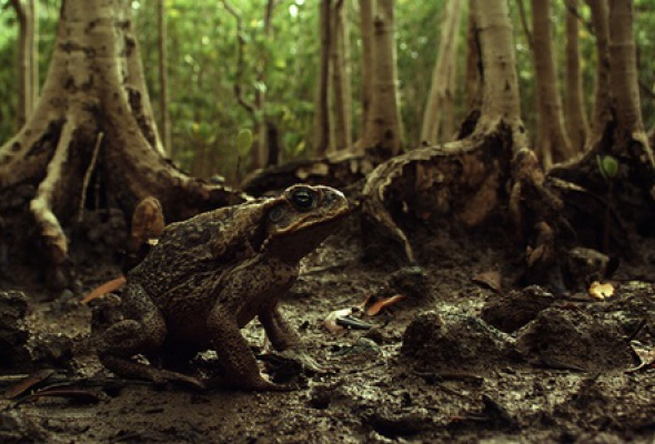 Тростниковые жабы: Оккупация 3D - Фото №3