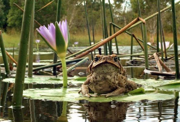 Тростниковые жабы: Оккупация 3D - Фото №4