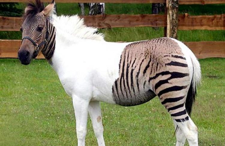 «Гаишники» выведут живых «зебр» наулицы