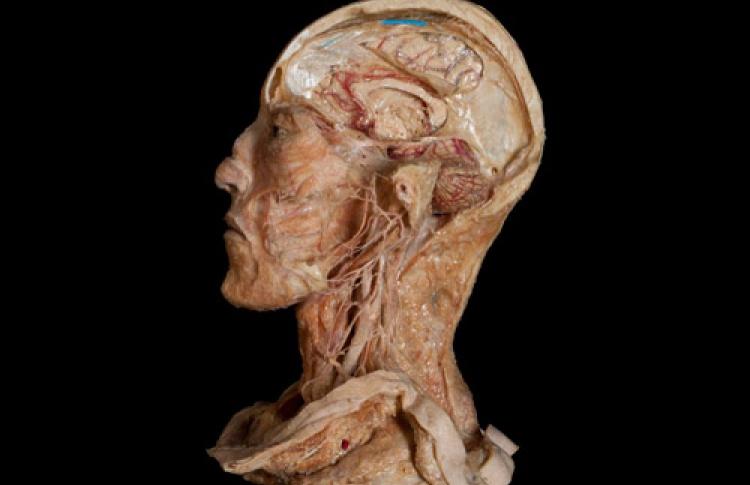Тело человека: мертвые учат живых