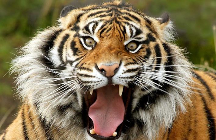 Насцену Михайловского театра снова выйдут тигры