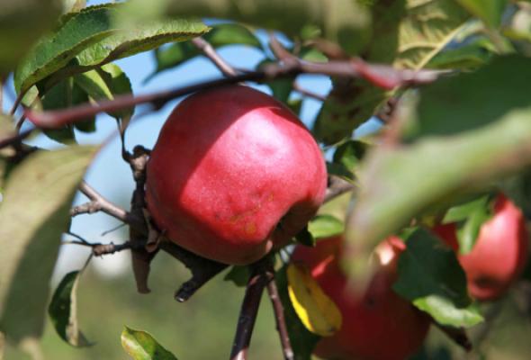 Яблочные недели - Фото №0