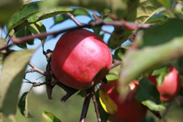 Яблочные недели