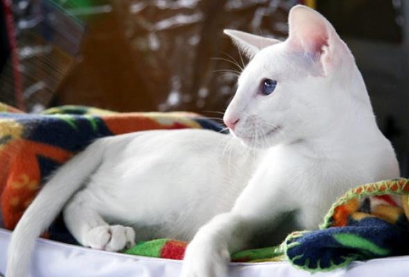 В«Крокус Экспо» приехали самые красивые иредкие кошки - Фото №0