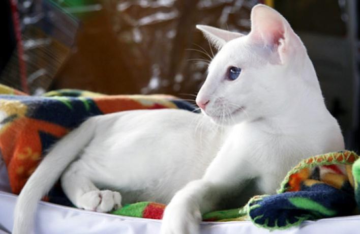 В«Крокус Экспо» приехали самые красивые иредкие кошки