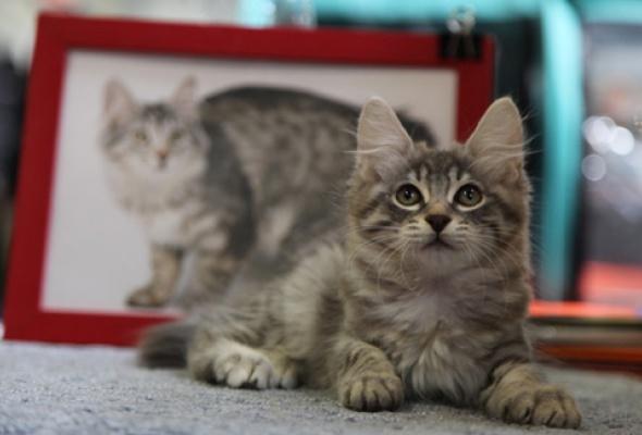 В«Крокус Экспо» приехали самые красивые иредкие кошки - Фото №4