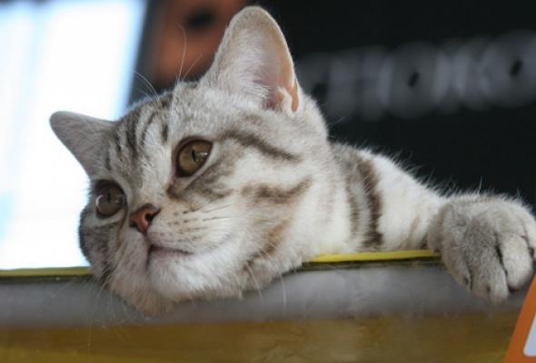 В«Крокус Экспо» приехали самые красивые иредкие кошки - Фото №5