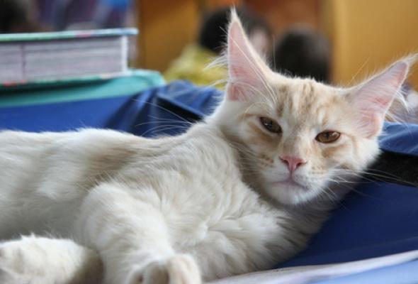 В«Крокус Экспо» приехали самые красивые иредкие кошки - Фото №7