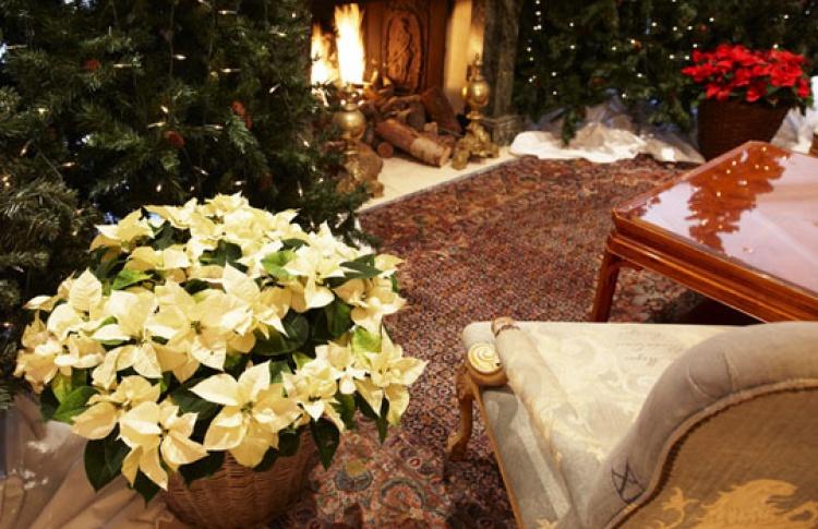 Новогодние растения мира
