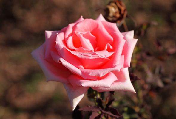 Город украсят 100 000 роз - Фото №1