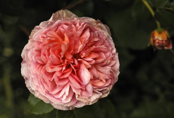 Город украсят 100 000 роз - Фото №2