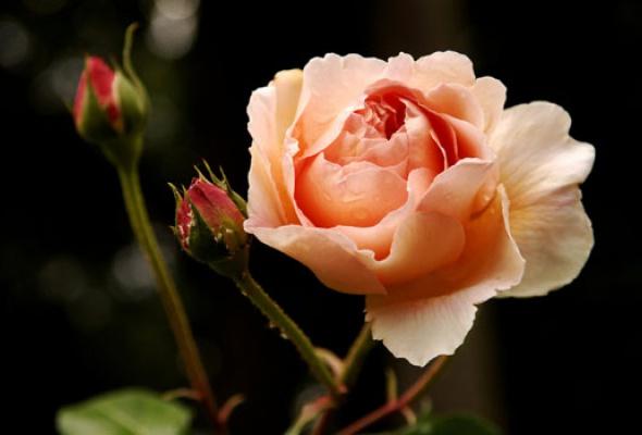 Город украсят 100 000 роз - Фото №7