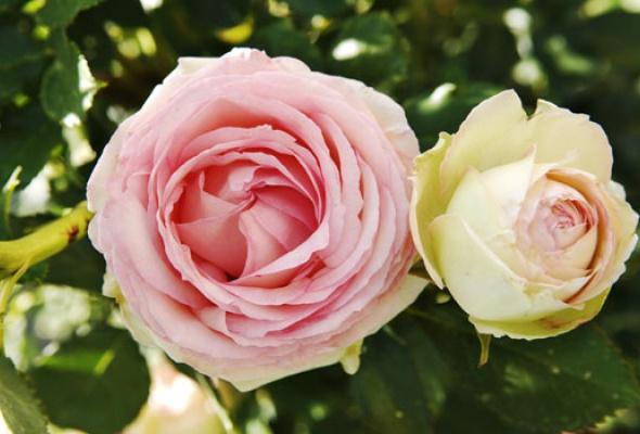 Город украсят 100 000 роз - Фото №9