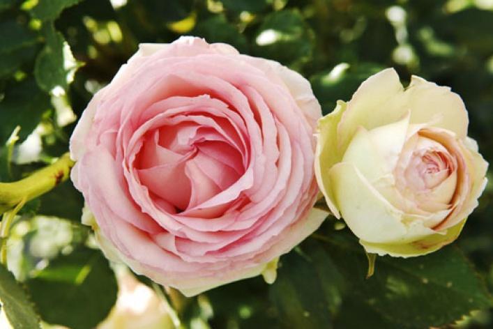 Город украсят 100 000 роз