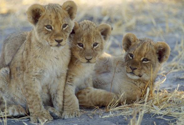 Семейство кошачьих - Фото №19