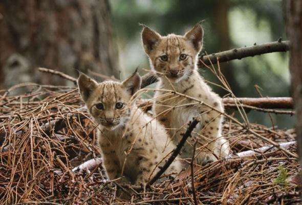 Семейство кошачьих - Фото №18