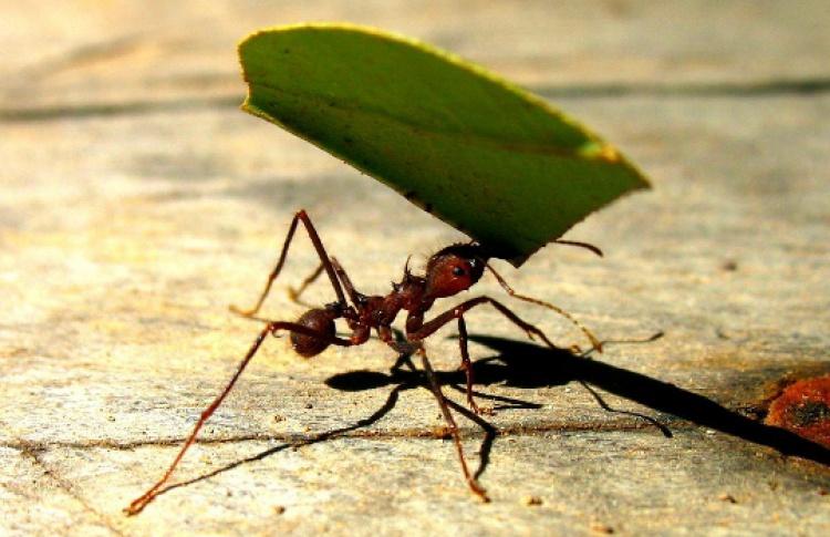 Изучают ли муравьи сельское хозяйство?