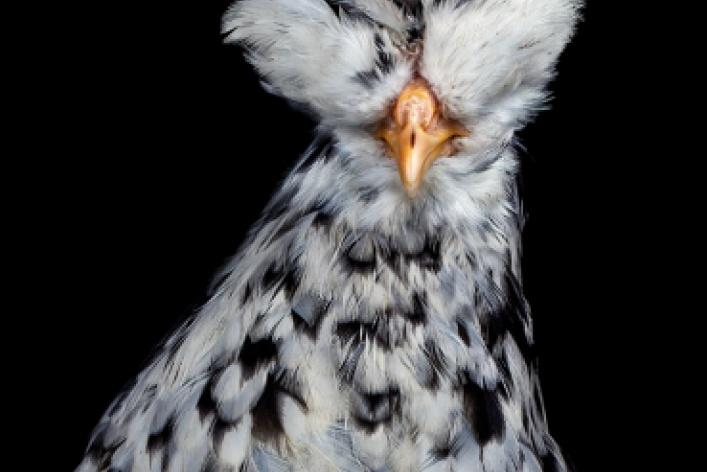 Эрнест Гох «Cocks»
