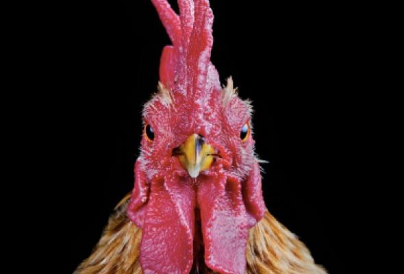 Эрнест Гох «Cocks» - Фото №2