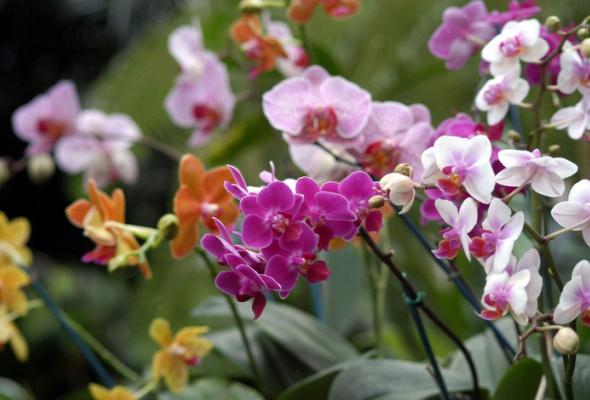 IV Зимний фестиваль орхидей - Фото №0