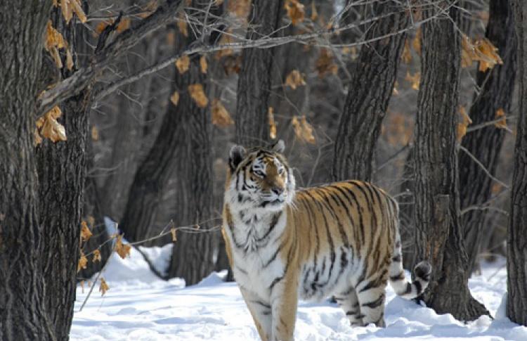 Эковстречи: Россия - царство тигров, медведей и вулканов