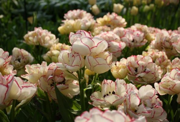 Весенний фестиваль цветов - Фото №0