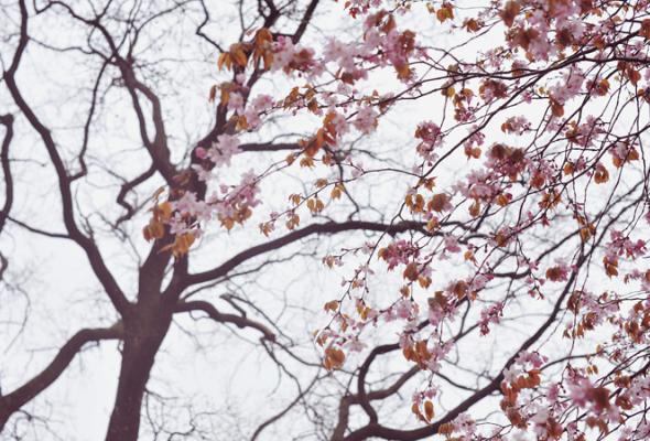 Весенняя вишня - Фото №0