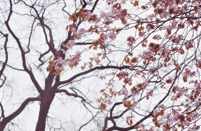 Весенняя вишня