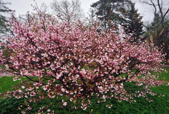 Весенняя вишня - Фото №4