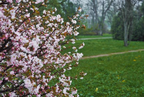 Весенняя вишня - Фото №5