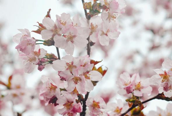Весенняя вишня - Фото №7