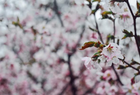Весенняя вишня - Фото №9