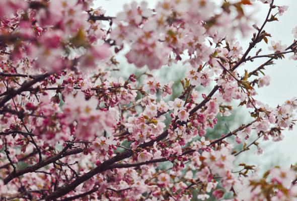 Весенняя вишня - Фото №16
