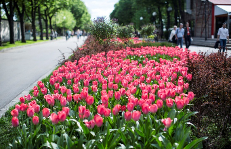 Парк Горького раздает луковицы тюльпанов