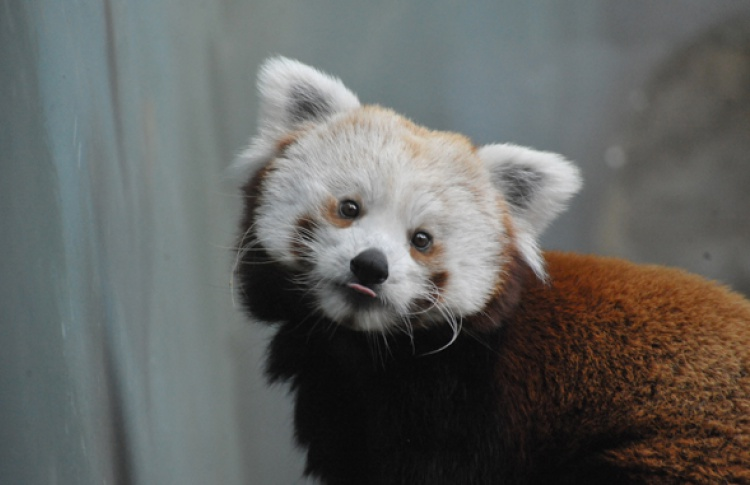 В Московском зоопарке поселилась красная панда