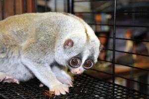Зоопарк пополнился ядовитыми приматами