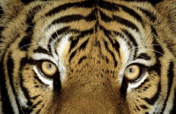 В московских ресторанах не впервые подают мясо тигров и леопардов