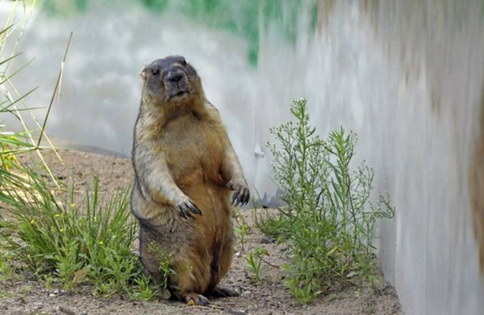 Сурки в зоопарке отказались предсказывать весну