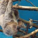 В зоопарке поселился двупалый ленивец