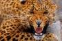В центре Москвы поймали двух леопардов