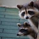 В Подмосковье открыли детский сад для енотов