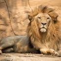 В Москве можно будет легально держать в квартире кобру и льва