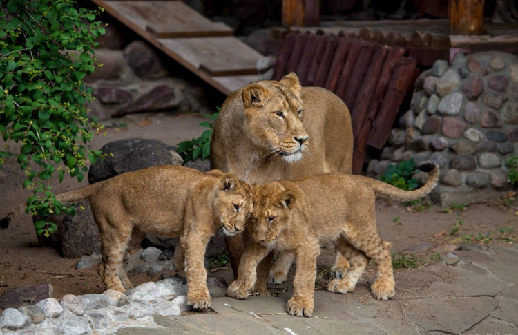 В зоопарке показывают лошадей Пржевальского, амурского тигра и львят