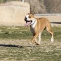 Владельцев бойцовых собак хотят обследовать у психиатров